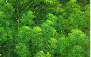 green cabomba or fanwort makes a nice bushy background plant