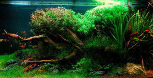 Balanced aquascape with driftwood, plants and hairgrass carpet