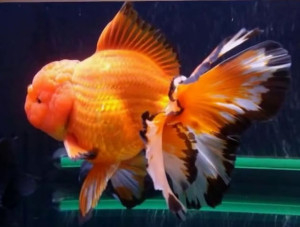 oranda goldfish with ryukin style back