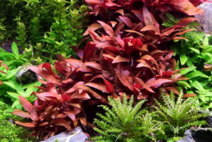 red water hedge plant nice alternative to green