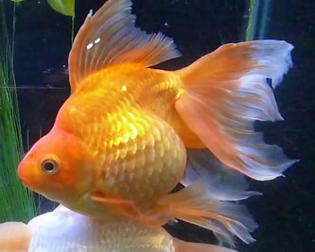 A guide to keeping and breeding fancy goldfish the fish for Outdoor goldfish for sale