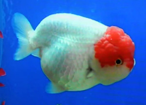 Tancho lionhead goldfish. Tancho=red just on hood
