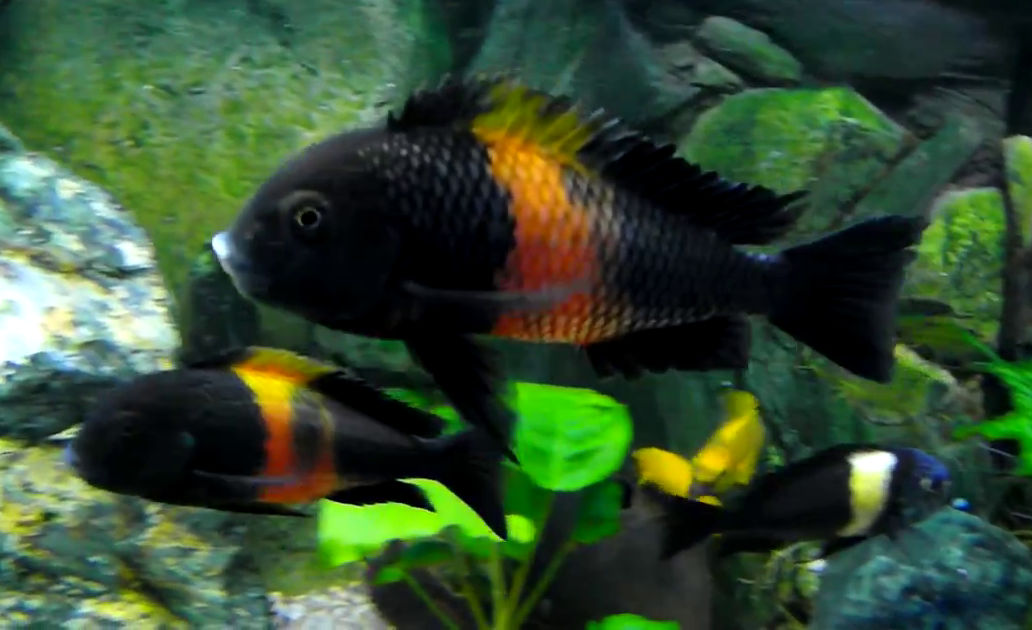 Breeding tropheus the fish doctor for The fish doctor