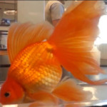 Champion grade veiltail goldfish with the ryukin back