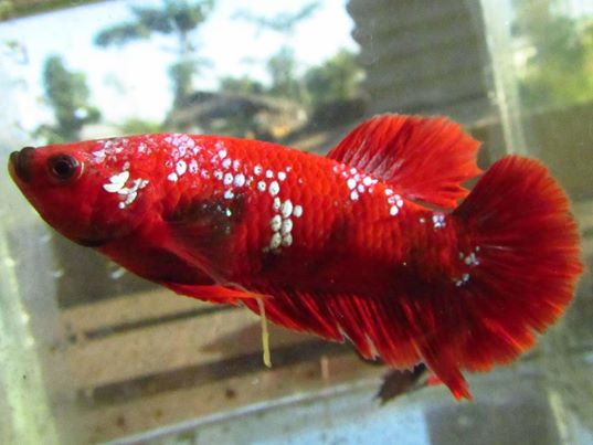 How to show your fish at fish shows the fish doctor for Dragon scale betta fish