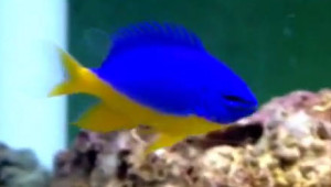 Marine fish such as the azure damselfish have the best colours