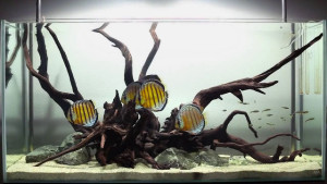 Excellent scene layout with Discus fish