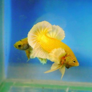 gold betta or metallic yellow siamese fighting fish