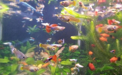 Feeding guppies, mollies, platies and other livebearers