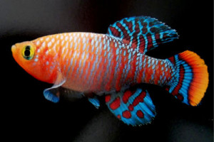 Nothobranchius rachovi. Killifish have adapted to extreme conditions.