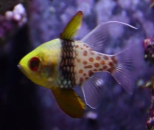 Good beginners fish pajama cardinalfish
