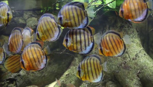 Discus with flattened sides and vertical stripes