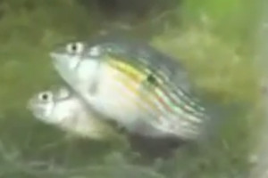 American flag fish pair spawning