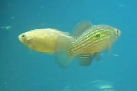 American flag fish breeding dance the fish doctor for American flag fish