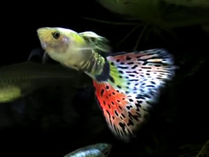 fancy delta tail guppy