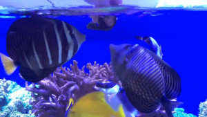 Hungry saltwater fish eating