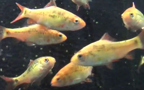 Breeding gold barbs the fish doctor for Gold barb fish