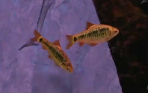 breeding pair gold barbs