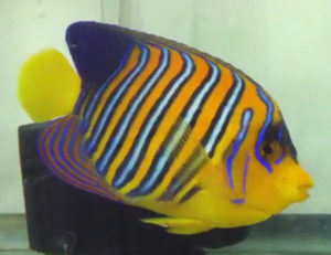 regal angelfish fish coloration
