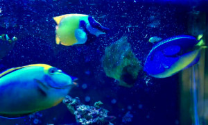 Saltwater fish love marine algae