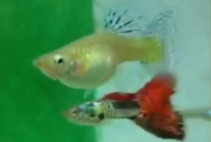 male and female fancy guppy mating