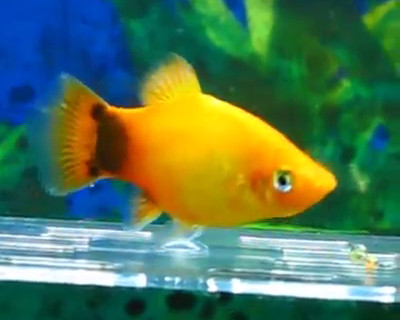 Fancy guppy platy molly and swordtail pedigree types for Platy fish breeding