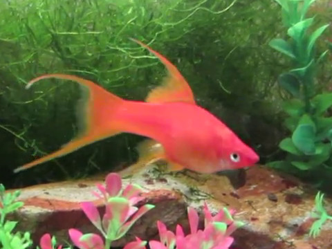 Fancy guppy, platy, molly and swordtail pedigree types ...