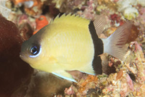 Blackbar Damselfish