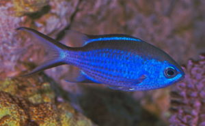 chromis-cyanea-blue-chromis