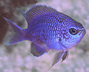 Purple Chromis