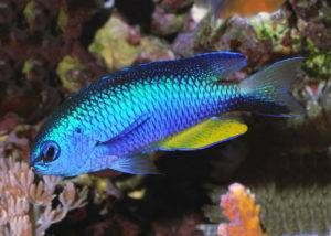 Allen's Damselfish