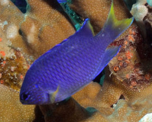 Pavo Damselfish