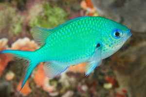 Blackaxil Chromis