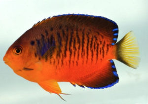 Shepard's angelfish