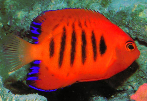 Flame dwarf angelfish centropyge loricula the fish doctor for Beginner saltwater fish
