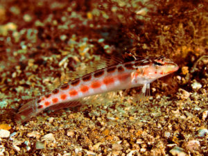 Red Spotted Sandperch