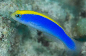 Sunrise Dottyback Pseudochromis flavivertex