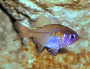 Threadfin Cardinalfish-Apogon leptacanthus