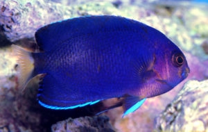 Whitetail Angelfish