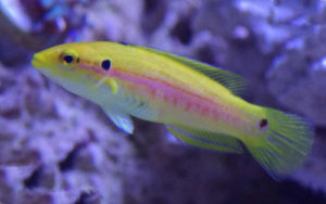 Yellow Hogfish