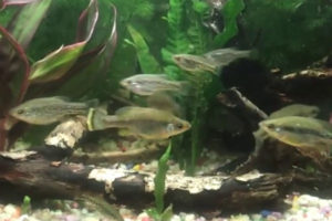 ameca splendens species aquarium