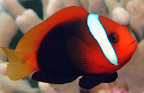 Clownfish - The fish doctor