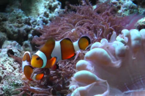 clownfish in the aquarium