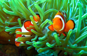 clownfish living in sea anemone