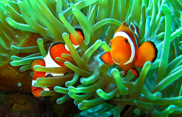 clownfish sea anemone relationship