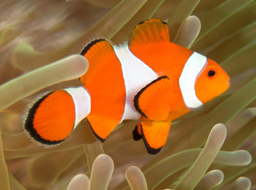 Clownfish the fish doctor for Clown fish for sale