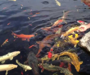 feeding koi with koi food