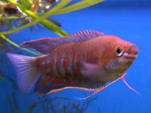 male banded gourami