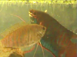 male female banded gouramis breeding