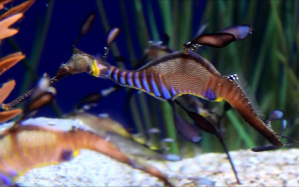 weedy sea dragons